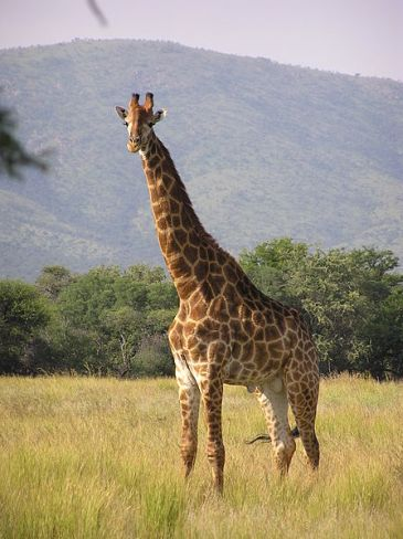 """Giraffe Standing""  by   Miroslav Duchacek used under Creative Commons Attribution 2.0 license."