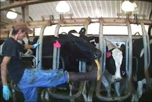 Abuse at an Idaho dairy farm.