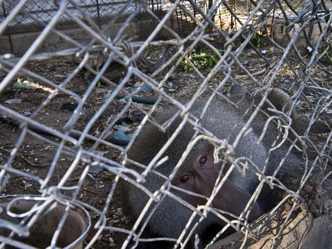 A Hamadryas baboon looks at the camera from inside his cage. Source: AFP