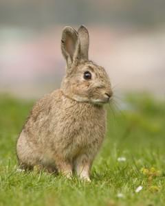 Rabbit-240x300