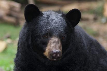 Black Bear, by ucumari photography / Flickr Creative Commons.