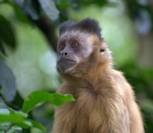 A capuchin monkey, like the one pictured here, was one of the casualties of the fire. Photo by Dario Sanches / Flickr creative commons.