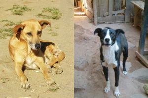 Indigenous dogs from Ranomafana (left) and Antananarivo (right), central east Madagascar. Photos by Lars-Göran Dahlgren.