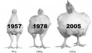 (Photo : Zuidhof, MJ, et al. 2014 Poultry Science)