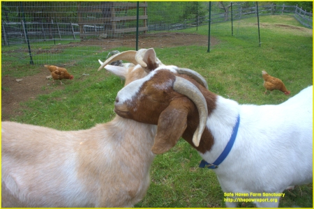 Animals form friendships and bonds just like we do. http://safehavenfarmsanctuary.org/