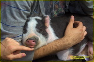 Image: A baby pig sleeps in the arms of a human.
