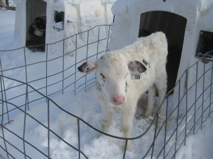 Image of a calf in his pen, standing in the snow. Photo via Sonia Faruqi; used with permission.