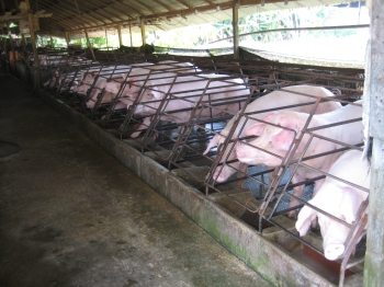 Image of pigs in crates. Photo via Sonia Faruqi; used with permission.