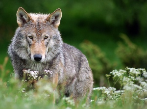 """Wolf 2"" Creative Commons, Robert Dewar  (https://www.flickr.com/photos/fremlin/2384478345)"