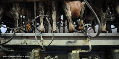 JMcArthur-weanimals-dairy-milking