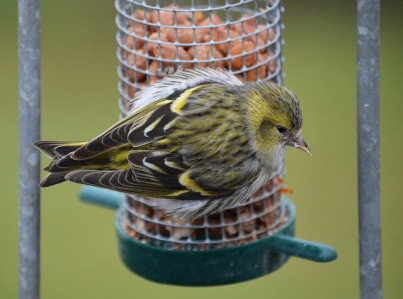 Siskin by Caroline Johnston