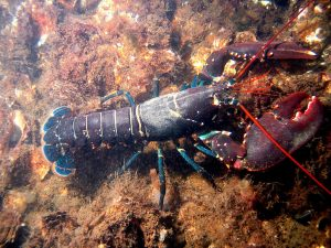 District Attorney in Maine won't prosecute lobster processor because he doesn't think lobsters areanimals