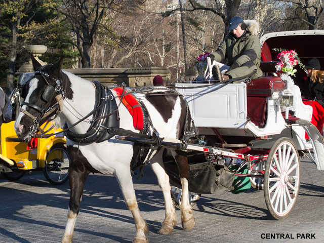 carriage-horse-central-park